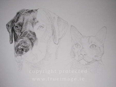 Graphite pencil pet portraits - black labrador portrait - cat portrait - work in progress - step 3