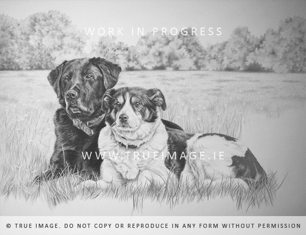 labrador and collie dog portrait in progress