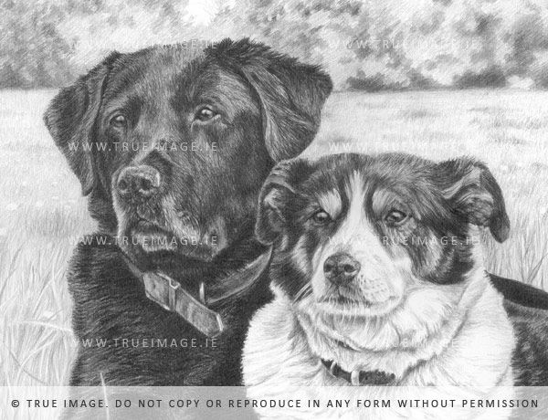labrador and collie pet portrait in pencil