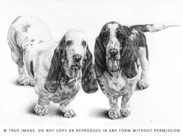 basset hounds' dog portrait in pencil on paper