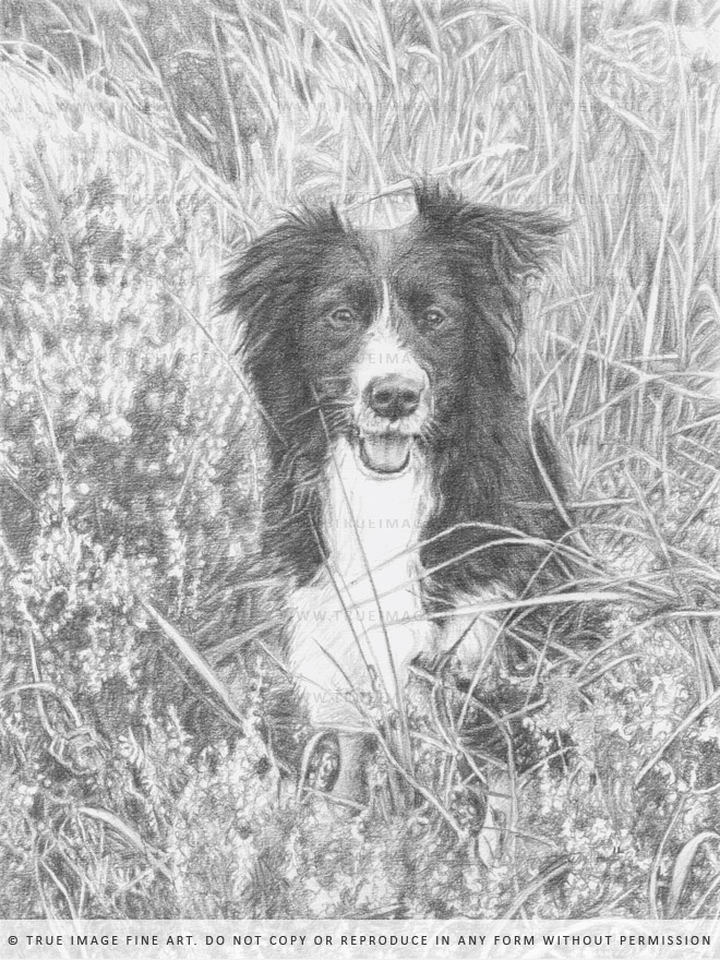 black and white collie drawing