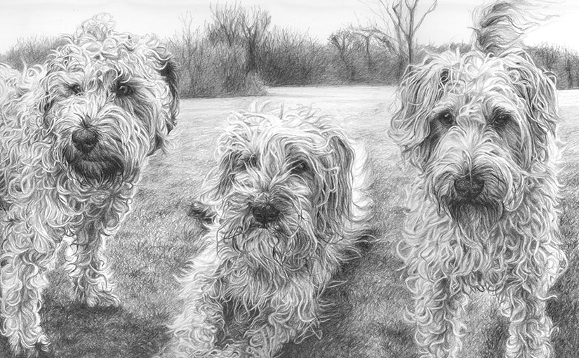 three wheaten terriers portrait detail