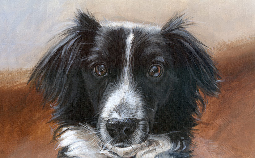 collie portrait head detail