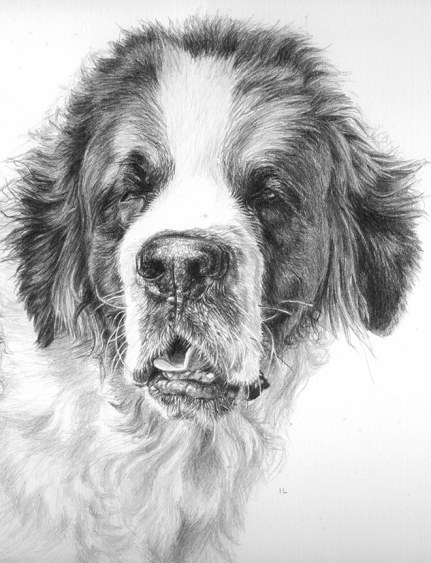 st bernard dog drawing
