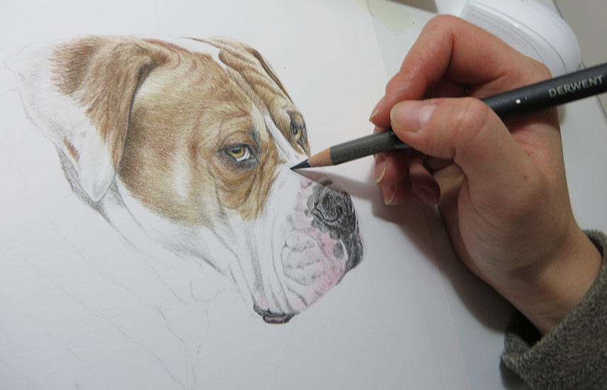 drawing a boxer
