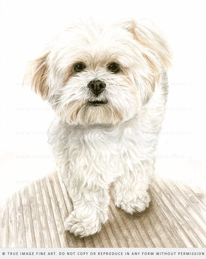 bichon dog portrait