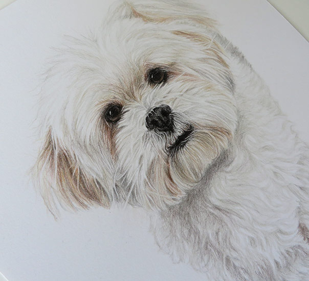 bichon dog drawing