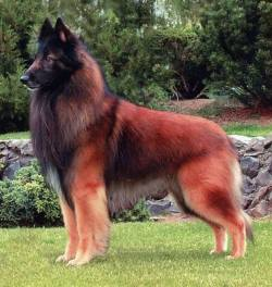 Belgian Tervuren Shepherd! :o  From 1 to 10 how beautiful is she? <3