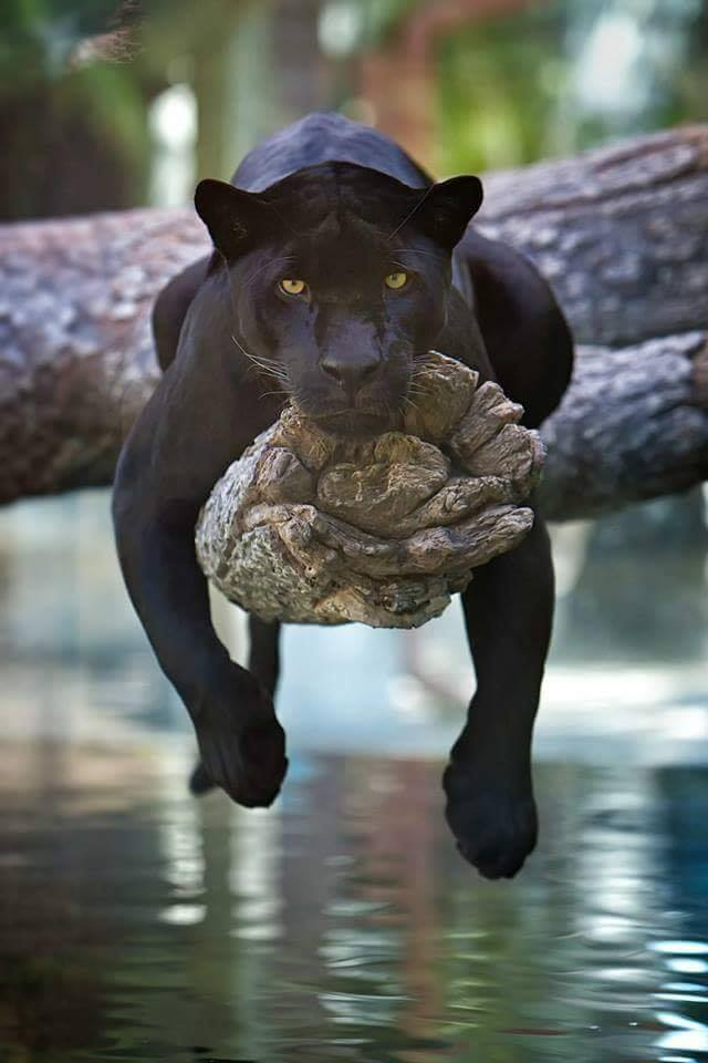 Black Panther chilling on a tree.. :)