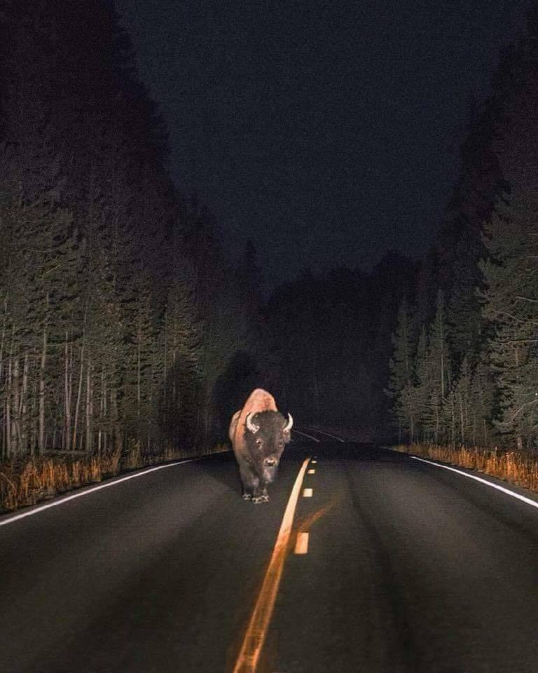 Night encounter in Yellowstone National Park. :o