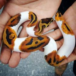 Piebald Ball Python Has Pumpkins on its Skin