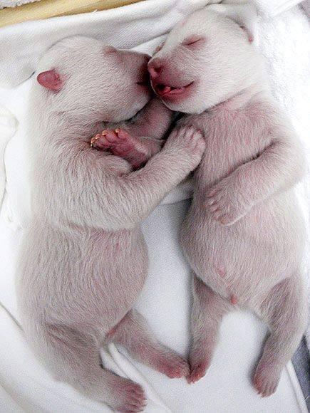 Polar bear twins. Explosions of cuteness. <3 <3 <3