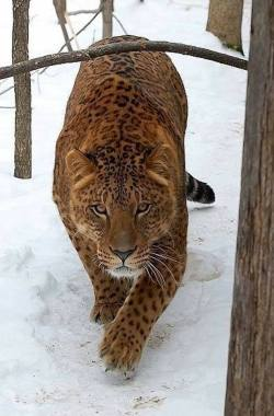 This is a Jaglion. The offspring of a male jaguar and a female lion. :o