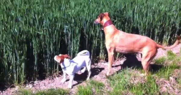 Two Dogs Who Are Best Friends, Has Hilarious Way Of Running In The Field – Watch Laugh-Out ...