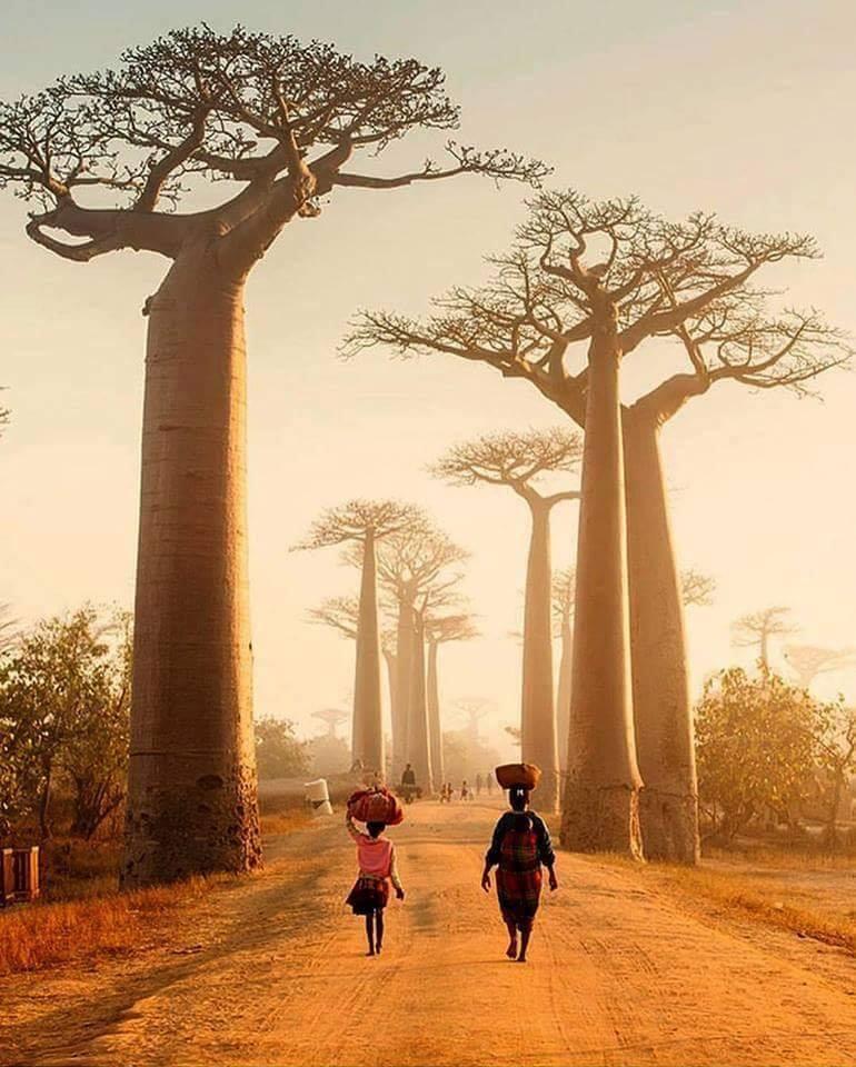Baobab trees in Madagascar.. :o