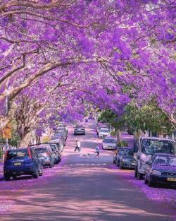 Blooming explosion at Jacaranda street  Sydney, Australia