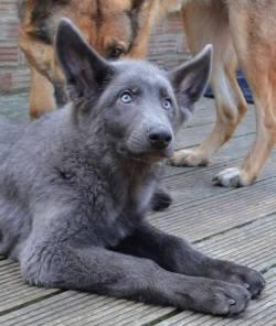 Blue German Shepherd. :D