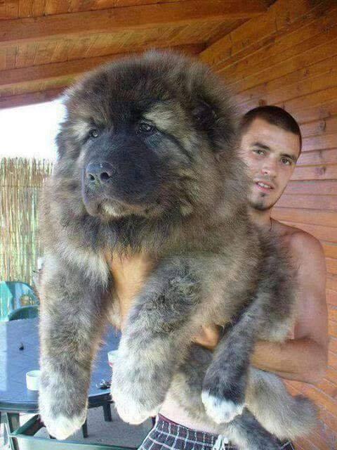 Russian Caucasian Mountain Dog. omg its like a big teddy.. :)
