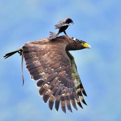 Small bird riding on a Eagle back
