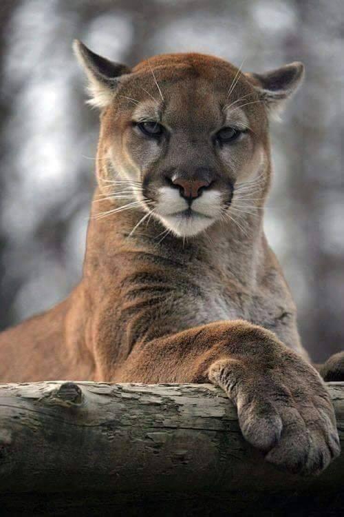 The Mountain Lion  <3
