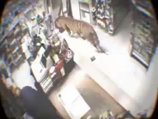 Tiger walks right into this store! 😱😱