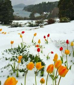 Tulips in snow.