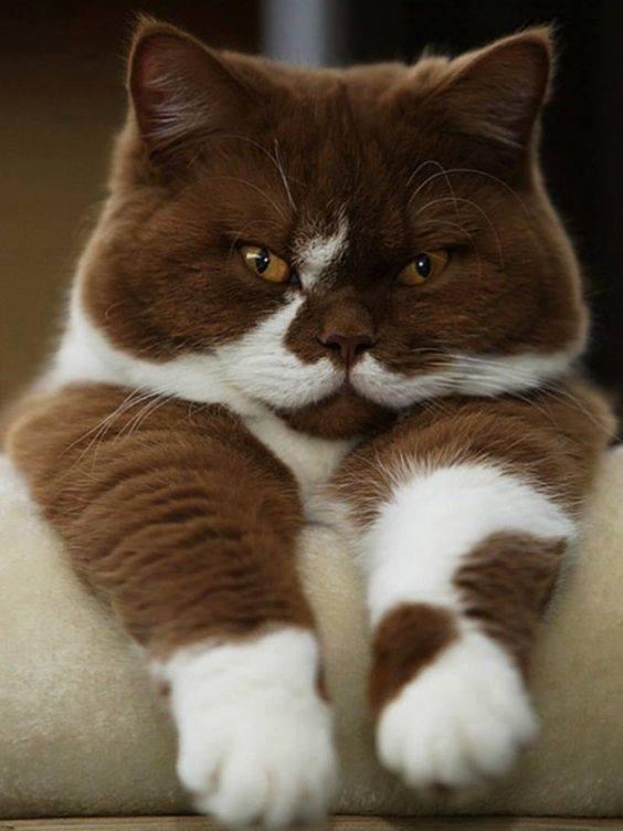 Chocolate kitty <3
