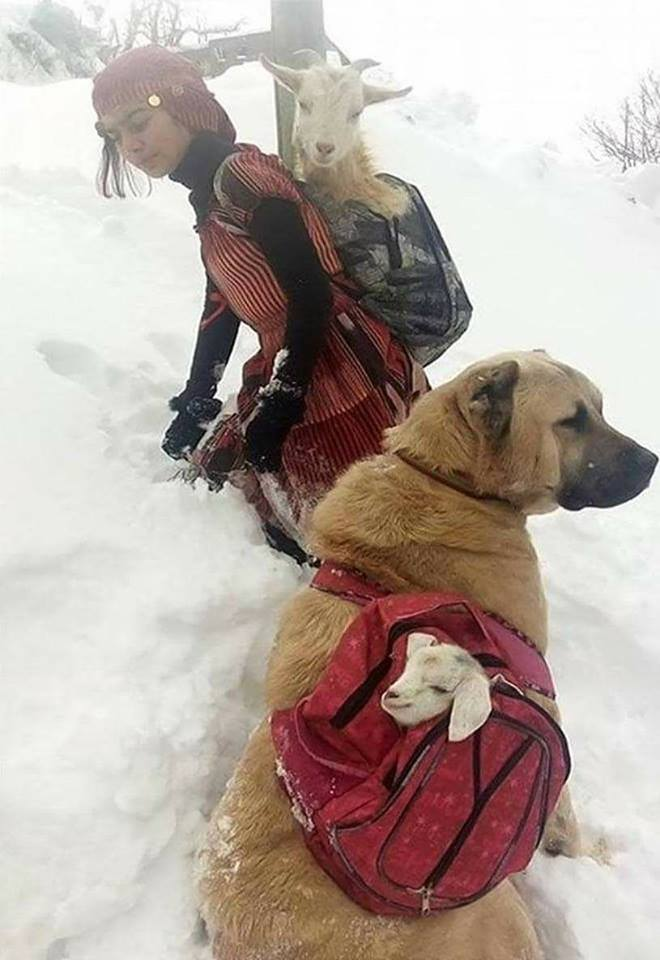 A Turkish shepherd girl carries a newborn goat and its mother with her dog. :o
