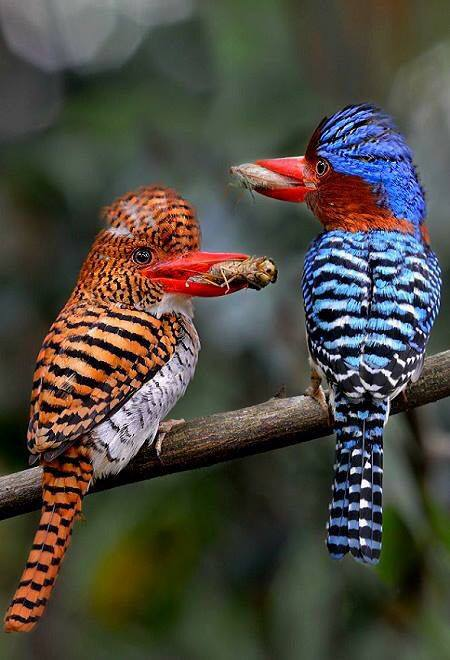 A couple of gorgeous Banded Kingfishers photographed in Thailand during their lunch.
