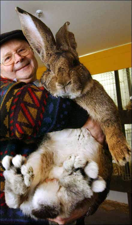 A giant rabbit named Herman weighs a massive 7.7 kg, has 21 cm ears and is almost 1m tall-settin ...