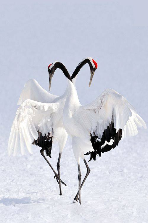 Gorgeous shot of Japanese Cranes in the Winter time.