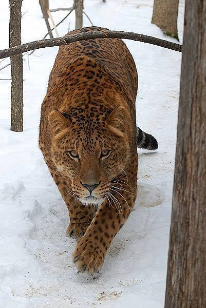 Jaglion, the offspring between a male jaguar and a female lion.