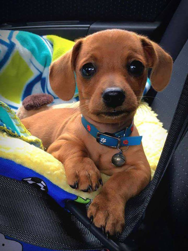 My Dachshund puppy looks like a stuffed dog.  From 1 to 10 how adorable is he?