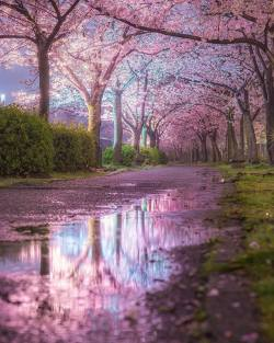 Pink blossoms reflections  Hyogo, Japan.