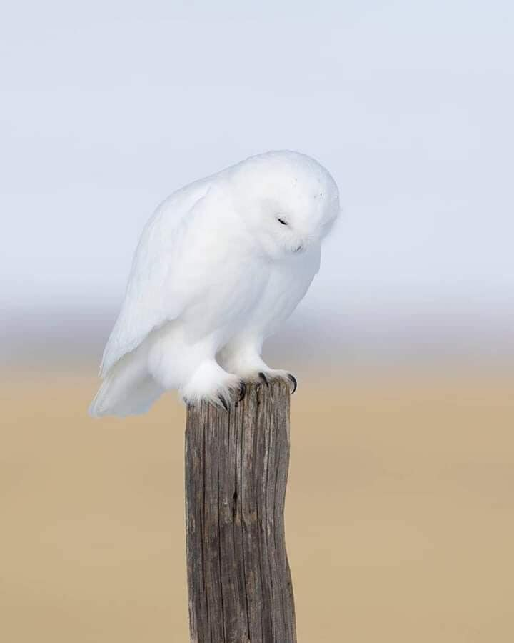 The White Ghost  Snowy owl male! Saskatoon, Canada