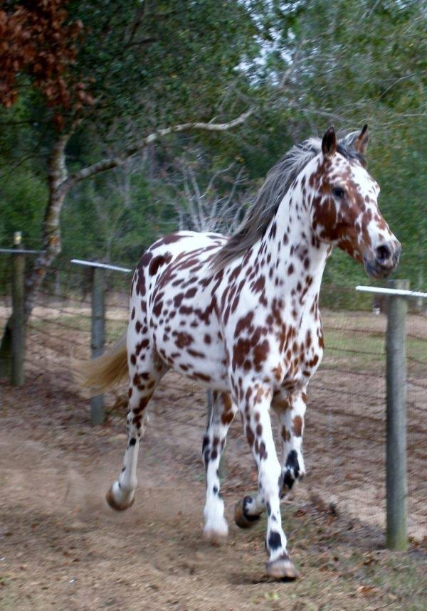 Who else thinks this Appaloosa horse is absolutely beautiful?
