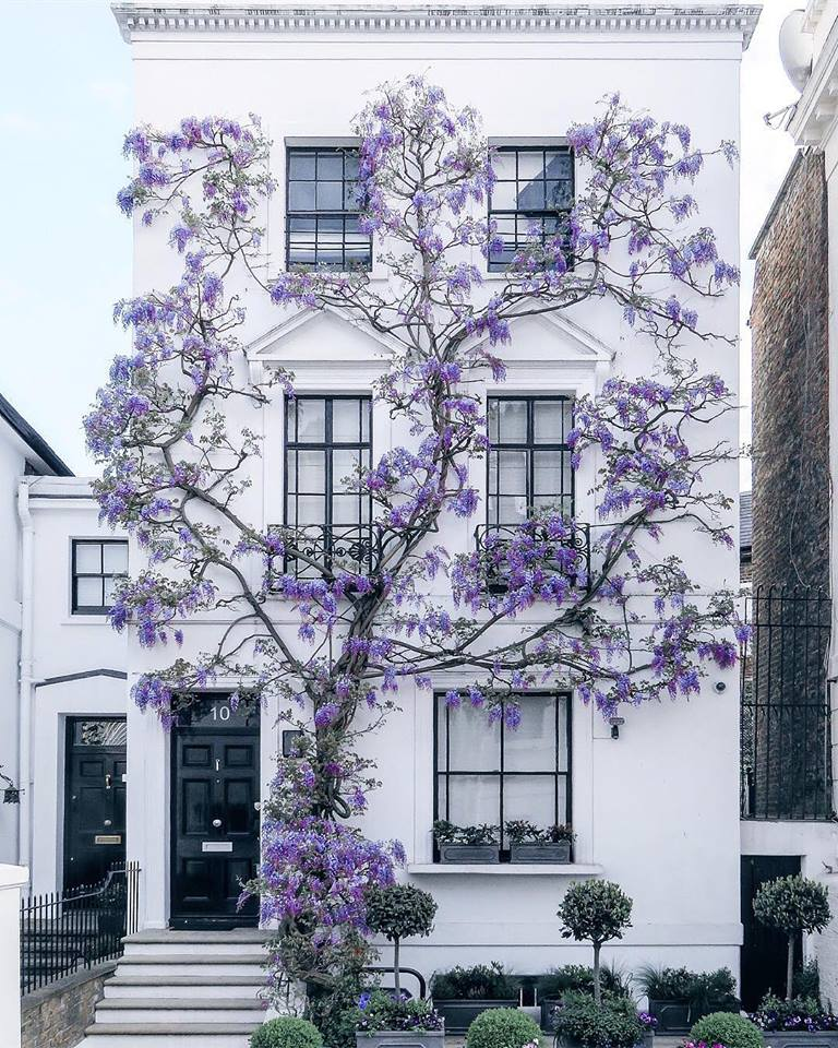 Wisteria Growing in South Kensingto.