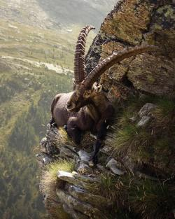 Yes,this is a real photo of a mountain Goat on the edge of a Cliff!