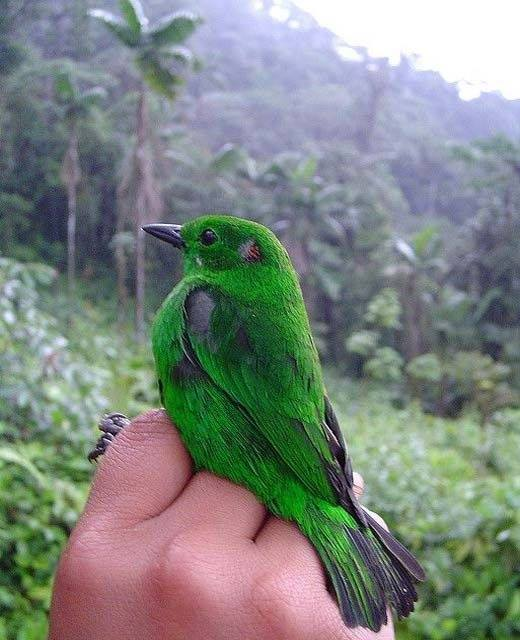 A Glistening-Green Tanager living up to its colorful name. That's nature's own green