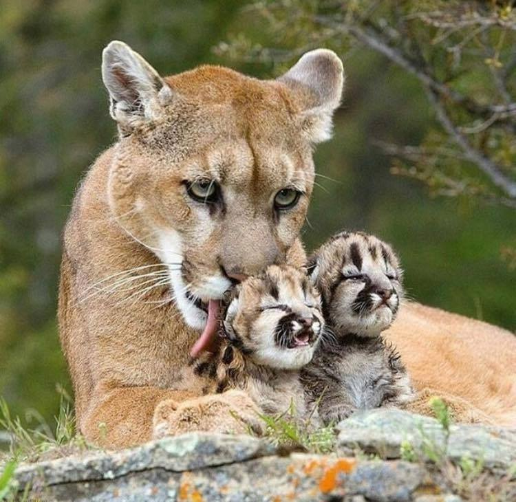 A mountain lion with her cubs
