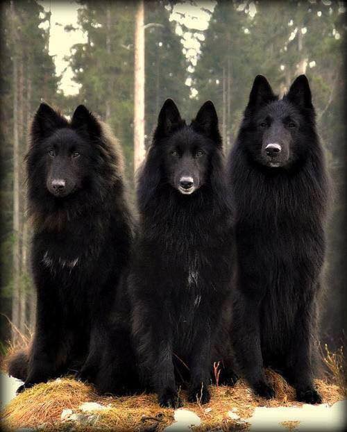 From 1 to 10 how beautiful are these Shepherd Dog Belgian!