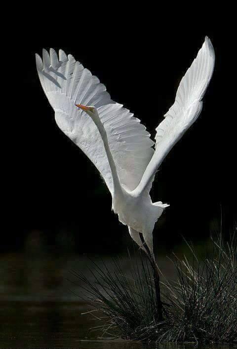 Great White Egret (Ardea alba) in Italy