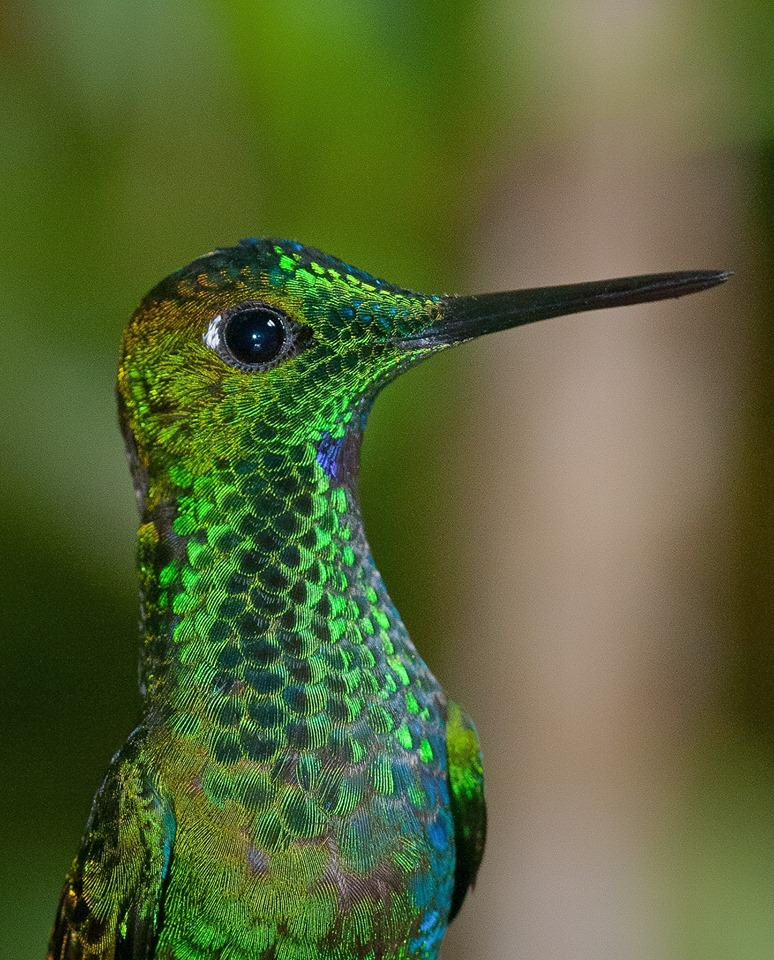 Green-crowned Brilliant  <3