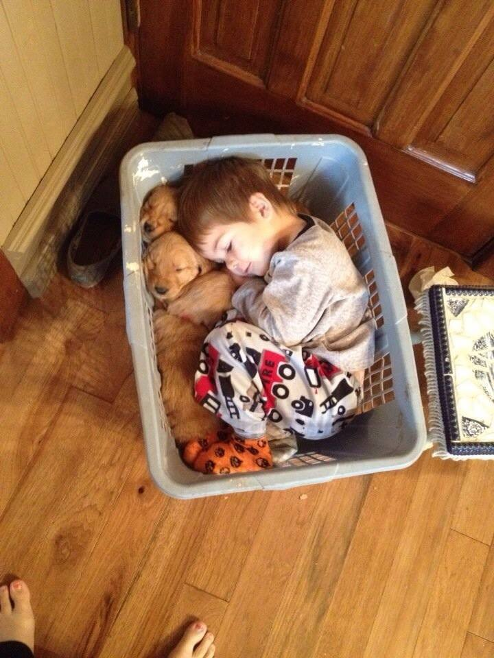 Little guy fell asleep in a basket with his golden retriever puppies.