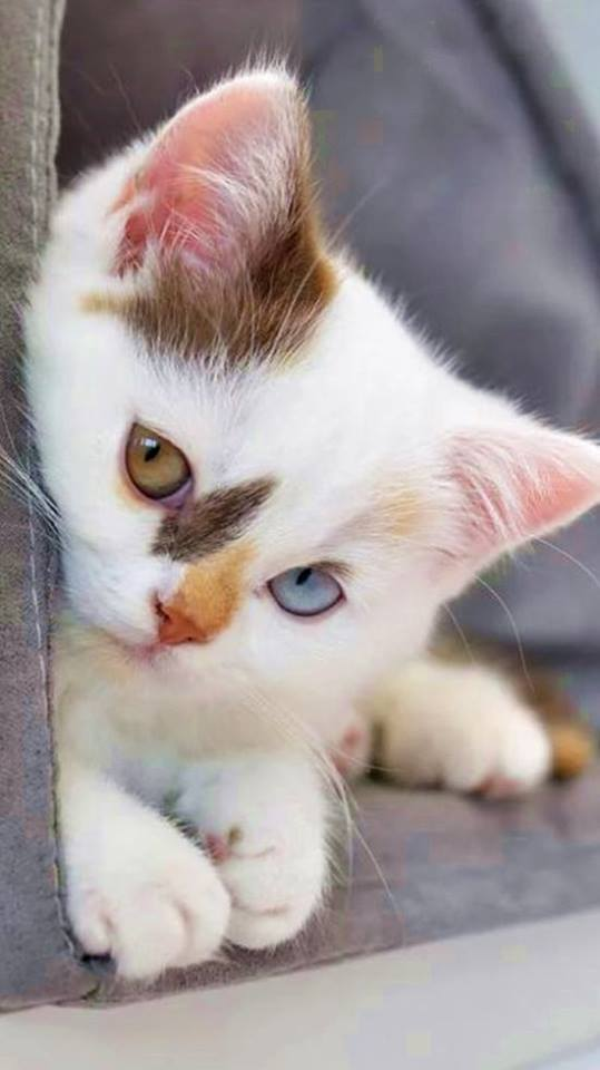 The Beauty of a calico kitten !! Those eyes