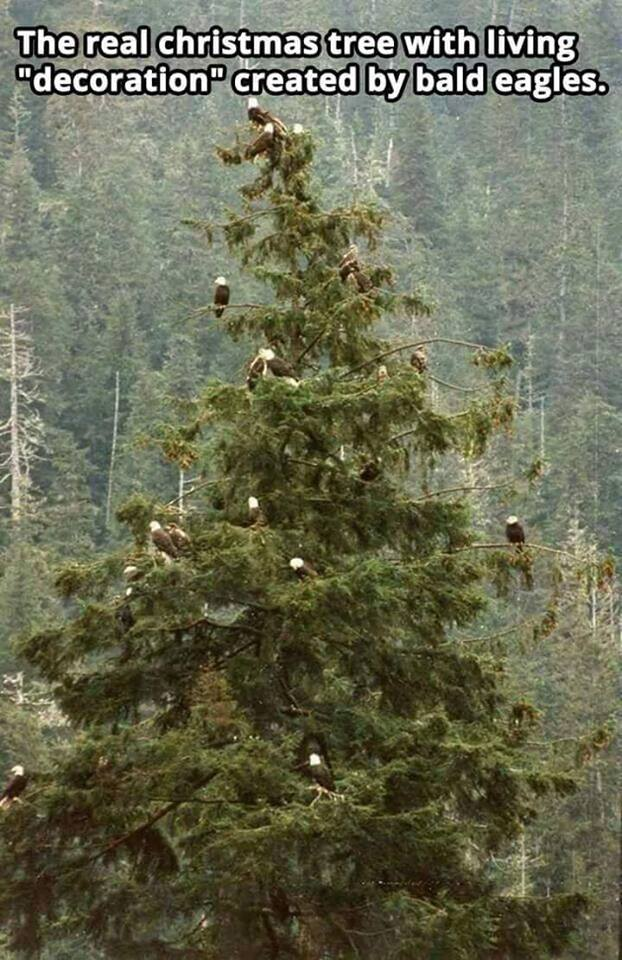 """The real christmas tree with living """"decorations"""" created by bald eagles."""