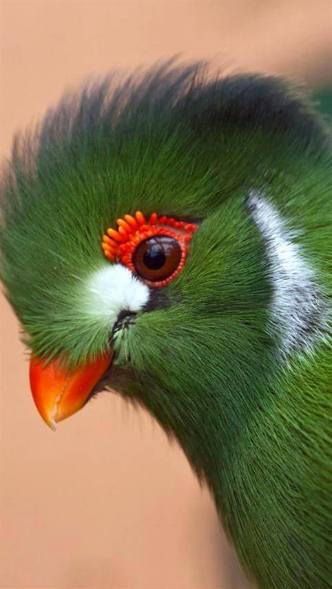 The remarkable face of a White Cheeked Turaco!