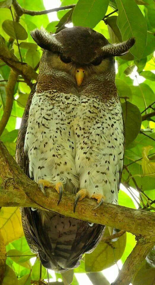 This is the Barred Eagle-Owl. Looks rather stern, wouldn't you say? :)