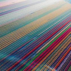 Tulip fields in Lisse, Netherlands