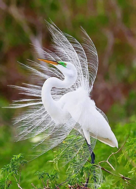 Wonderful photo of a Great Egret!